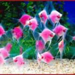 Светящиеся розовые рыбы-ангелы – результат генетических экспериментов. Видео