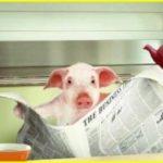 Удивительные способности домашних свиней. Любопытная история о свинье, служившей в полиции. Видео