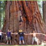 Гигантская секвойя — самое огромное дерево на планете!