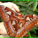 Самая большая бабочка теперь есть в северной столице!