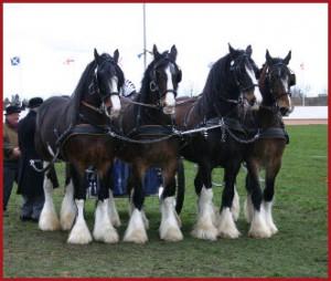 Самые большие лошади.