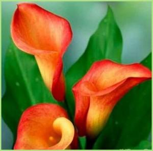 Прекрасные домашние цветы каллы расцветают зимой!
