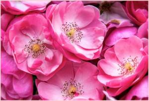 Интересные факты из истории царицы цветов – розы. Красивые фото