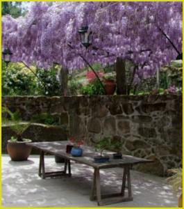Лиана глициния – прекрасный «синий дождь».